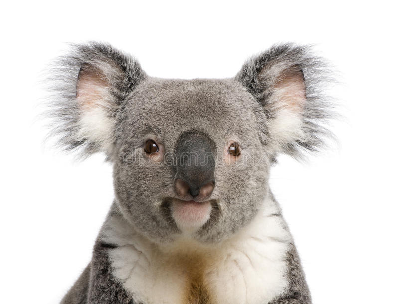 Fond de blanc d'againts de plan rapproché d'ours de koala photos libres de droits