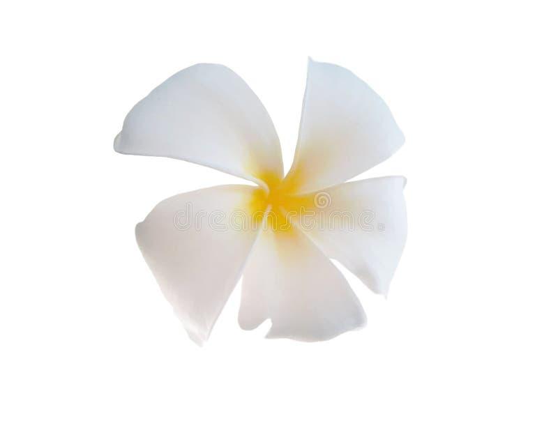 Fond de blanc de Plumeria image stock