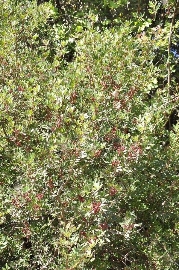 Fond de branches d'arbre de canneberge avec les fruits mûrs dessus photo libre de droits