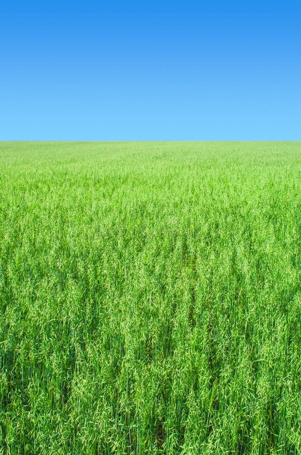 Fond de champ d'avoine photo stock