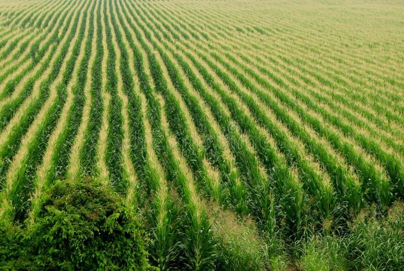 Fond de champ de maïs photographie stock libre de droits