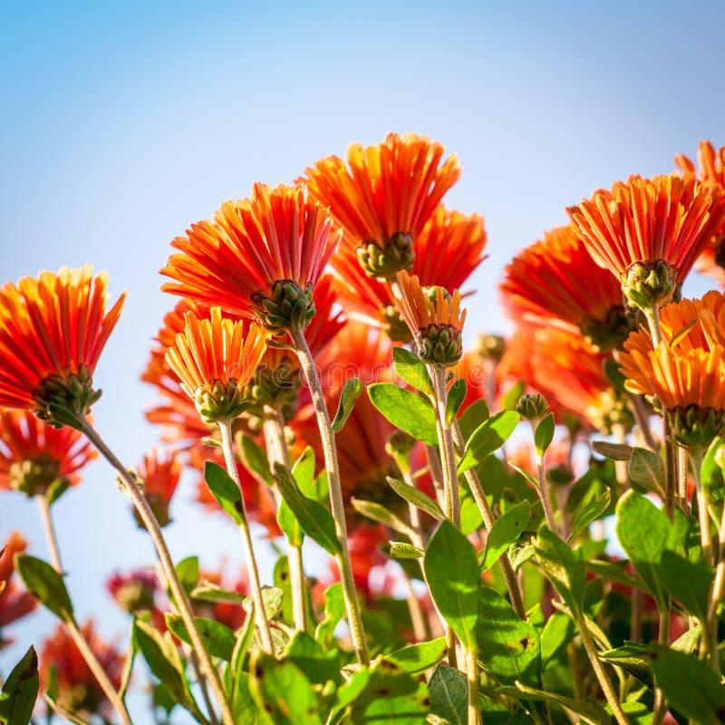 Download Fond de chrysanthème photo stock. Image du nature, automne - 45369518