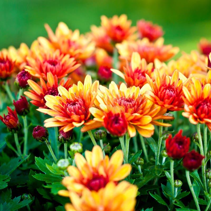 Fond de chrysanthème photographie stock libre de droits