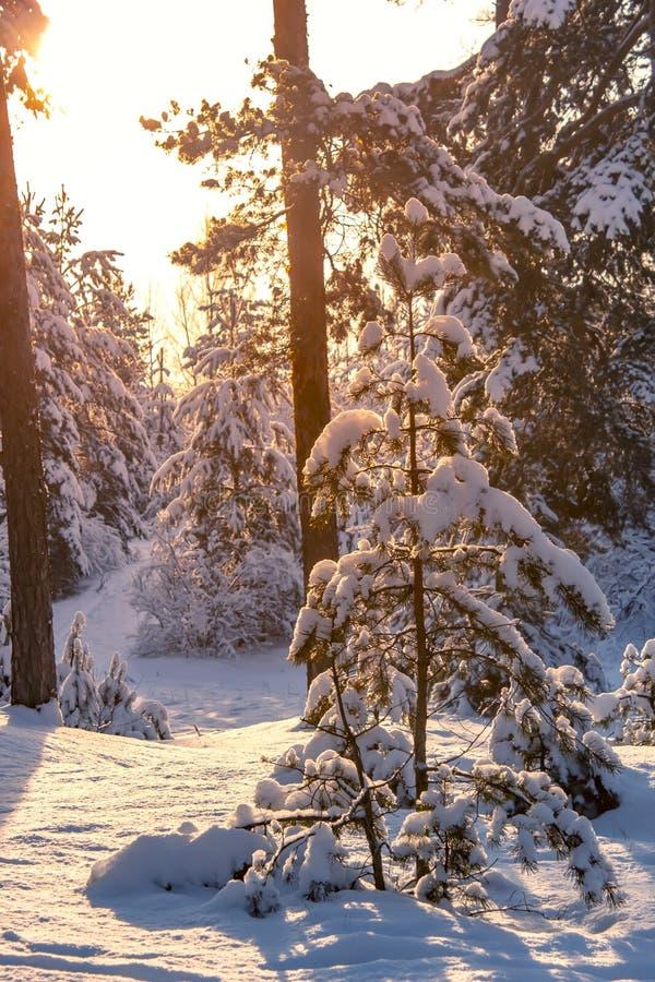 Fond de coucher du soleil d'arbres forestiers de neige d'hiver Coucher du soleil rouge dans la scène d'arbres forestiers de neige photo stock