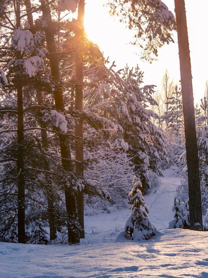 Fond de coucher du soleil d'arbres forestiers de neige d'hiver Coucher du soleil rouge dans la scène d'arbres forestiers de neige image stock