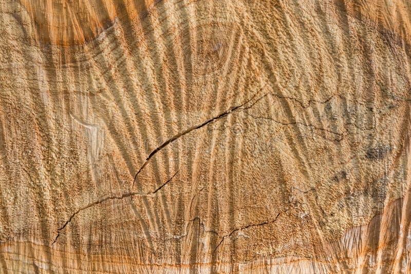 Fond de coupe transversale de peuplier avec des traces de travail de tronçonneuse photographie stock