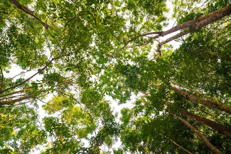 Fond de ferme d'arbre en caoutchouc chez la Thaïlande photographie stock