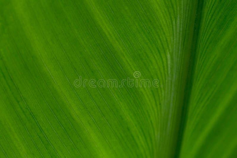 Fond de feuille tropicale fraîche de vert de Canna de contre-jour images stock