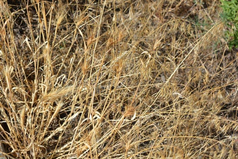 Fond de fines herbes peu commun d'herbe sèche et d'épillets jaunes et d'or avec des effets et l'éclairage peu communs photos stock