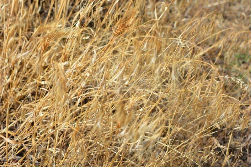 Fond de fines herbes peu commun d'herbe sèche et d'épillets jaunes et d'or avec des effets et l'éclairage peu communs photographie stock