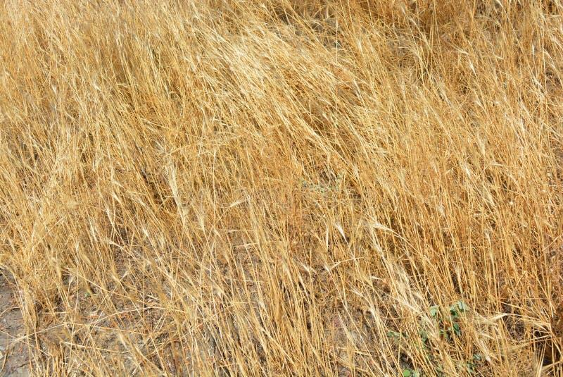 Fond de fines herbes peu commun d'herbe sèche et d'épillets jaunes et d'or avec des effets et l'éclairage peu communs photo stock