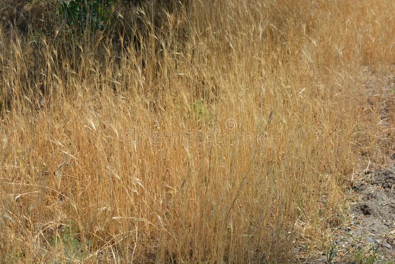 Fond de fines herbes peu commun d'herbe sèche et d'épillets jaunes et d'or avec des effets et l'éclairage peu communs photographie stock libre de droits