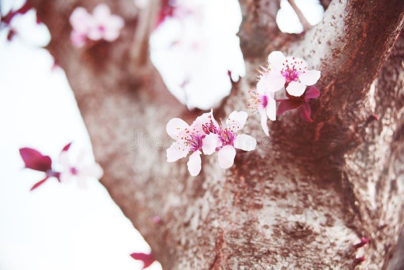 Fond de fleur de bourgeon de branche de cerisier en tant que concept de floraison de saison de belle fleur de ressort photos stock