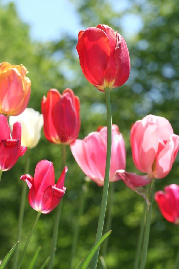 Fond de fleur d'été : Tulipes photo stock