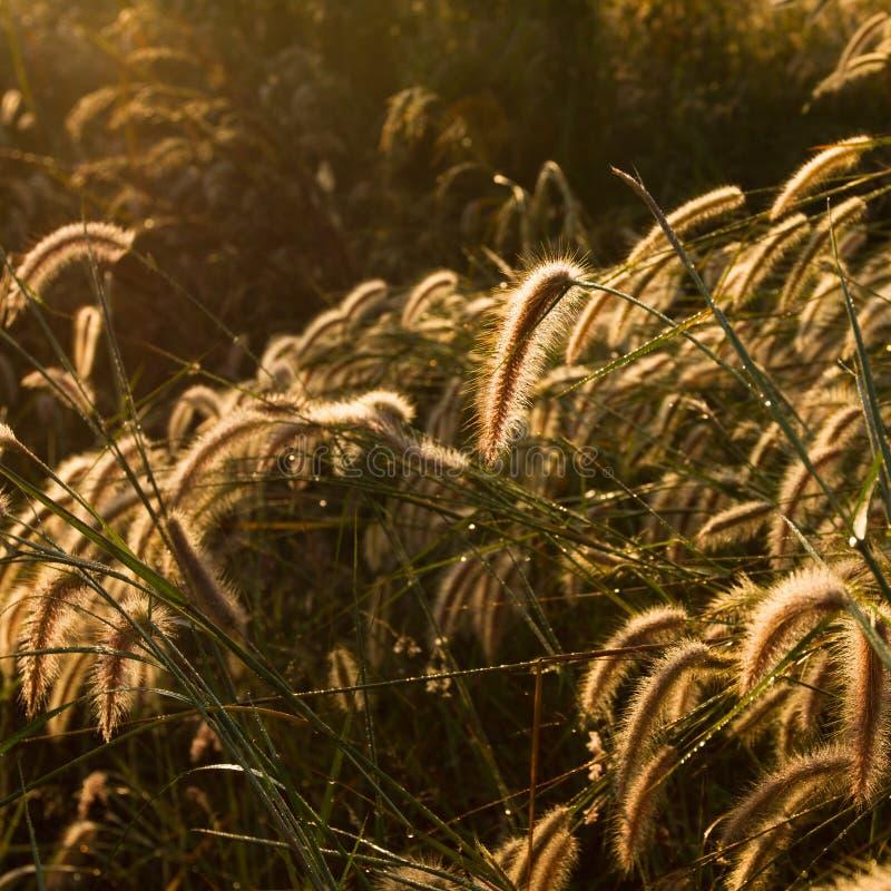 Fond de fleur de Pennisetum photos libres de droits