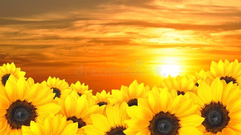 Fond de fleur des tournesols jaunes au coucher du soleil photo libre de droits