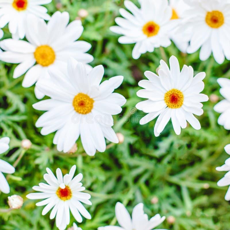 Fond de fleur de marguerite Modèle de fleurs coloré mignon image libre de droits