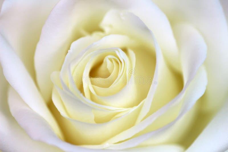 Fond de fleur de rose de blanc, macro photos stock