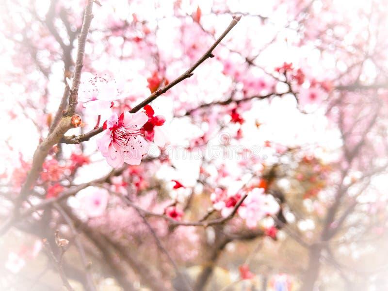 Fond de fleurs de cerisier de printemps photo libre de droits