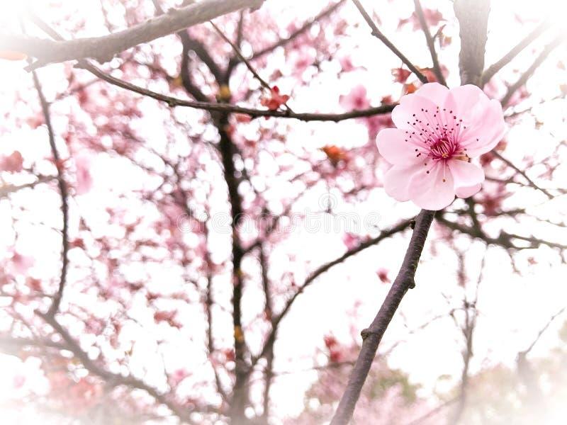 Fond de fleurs de cerisier de printemps image libre de droits