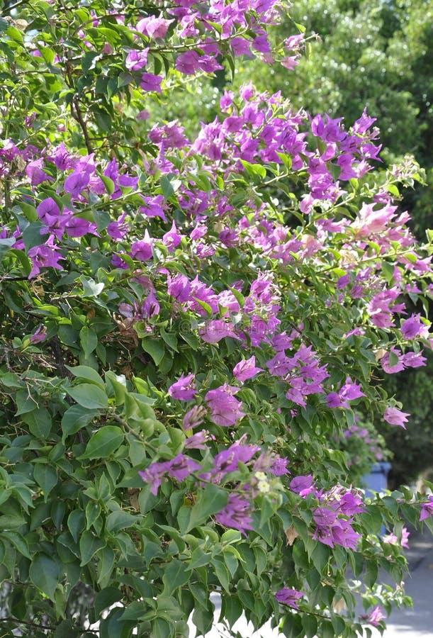 Fond de fleurs de fleur de Violet Bougainvillea photos stock