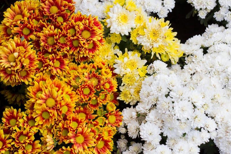 Fond de fleurs fraîches orange, rouge, blanc, chrysanthème, photo libre de droits