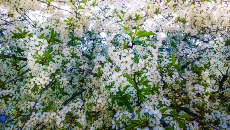 Fond de floraison de fleurs de branches d'arbre fruitier de ressort image stock