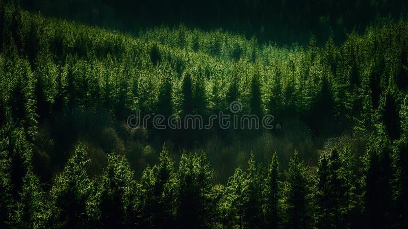 Fond de forêt avec le modèle de pins images stock