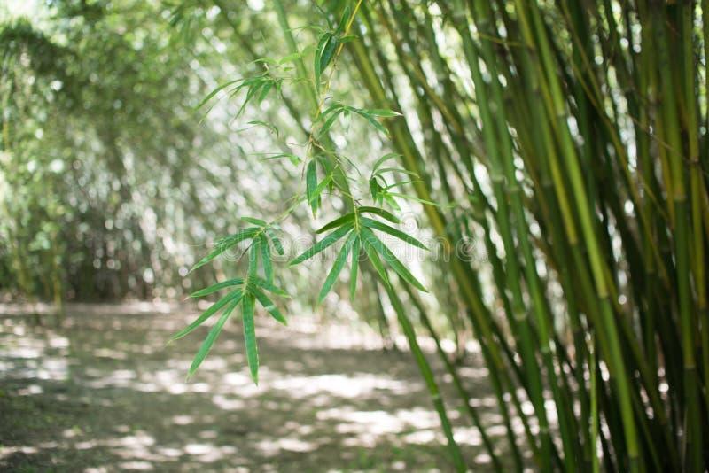 Fond de forêt de bambous avec le bambou naturel photographie stock