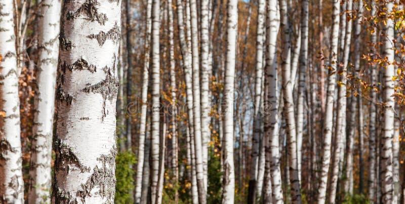 Fond de forêt de bouleau photos libres de droits