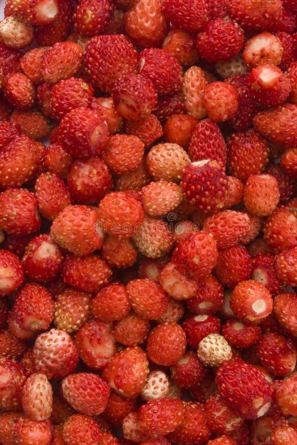 Fond de fraisiers communs photographie stock