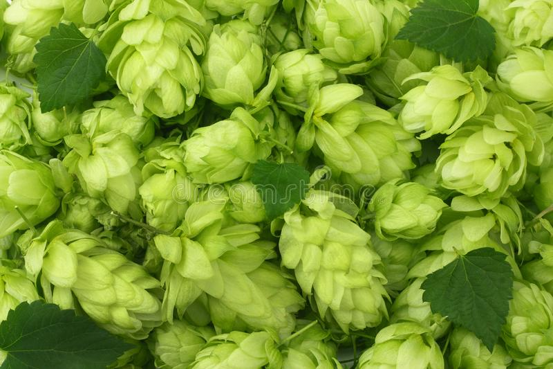Fond de houblon en cônes Texture de houblon en cônes Ingrédients de brassage de bière Fond de bière Vue supérieure images stock