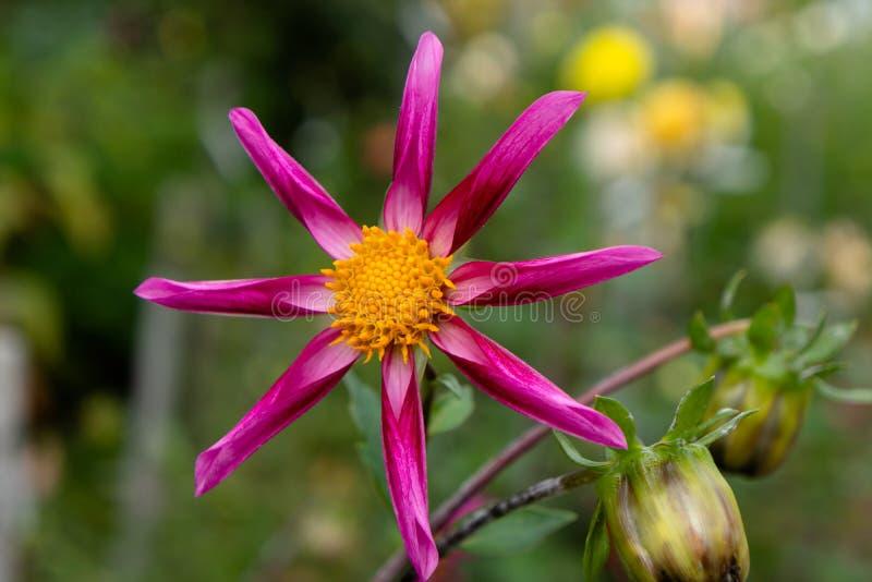 Fond de jardin de Dahlia Close Up Against Blurred d'araignée images libres de droits