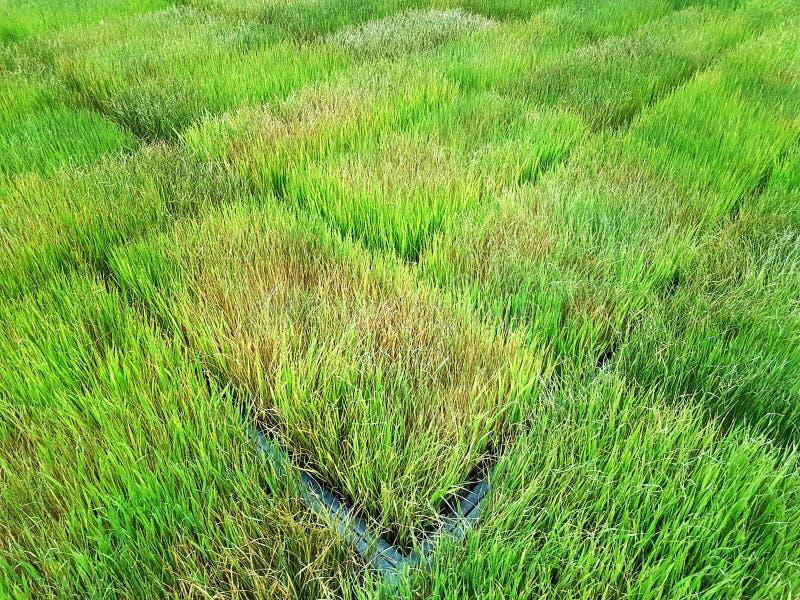 Fond de jeunes usines de riz fraîches au champ de plantation photos stock