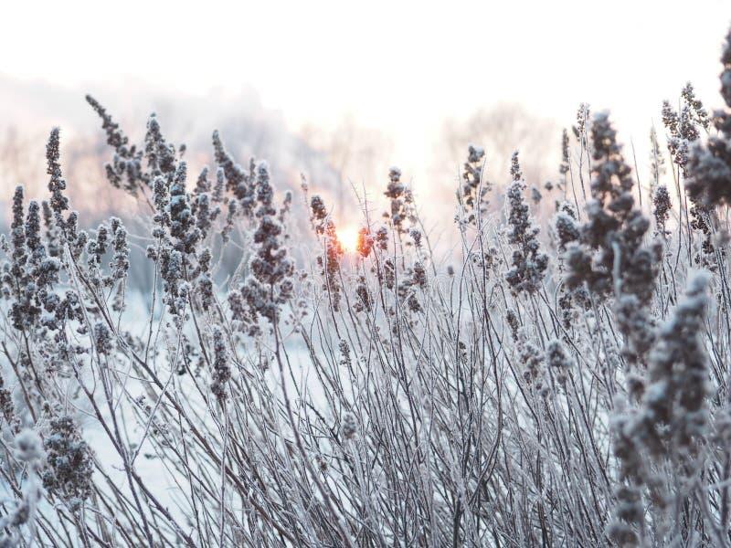 Fond de l'hiver épillets couverts de gel photo stock