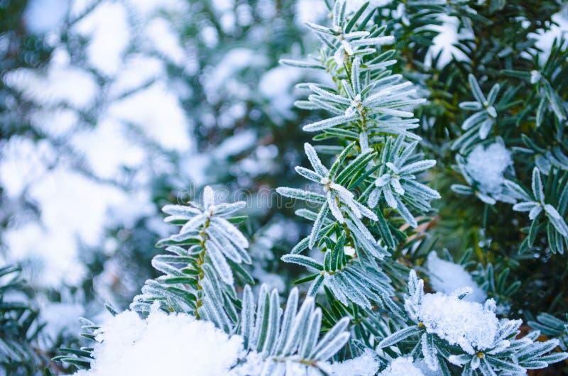 Fond de l'hiver Arbre dans des branches de gel d'un arbre de Noël couvert de neige en temps froid Branches coniféres gelées dans  photographie stock libre de droits