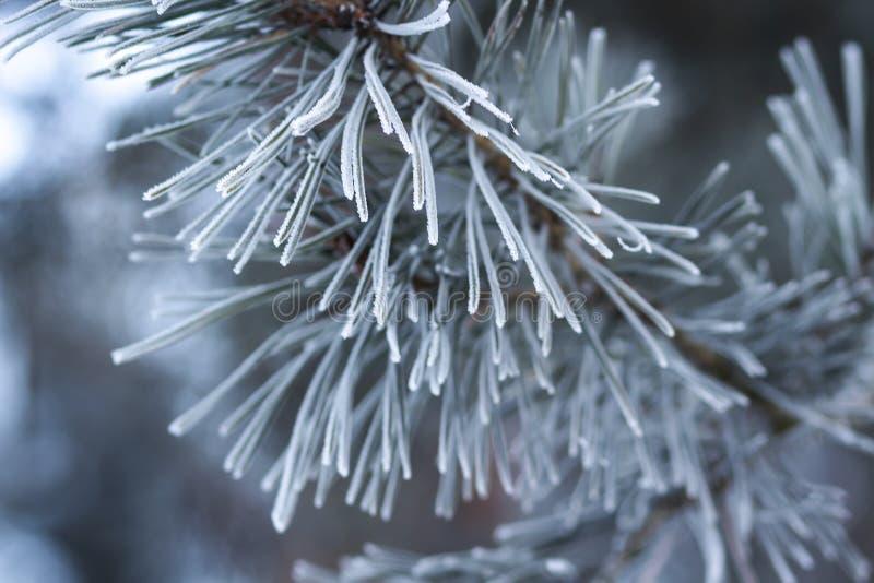 Fond de l'hiver Branche d'arbre de Noël avec la gelée sur elle en plan rapproché givré de jour Thème de Noël photographie stock
