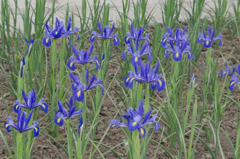 Fond de la floraison violette de fleurs d'iris photo libre de droits