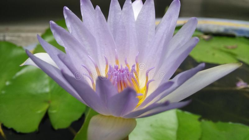 Fond de lotus de fleur images libres de droits
