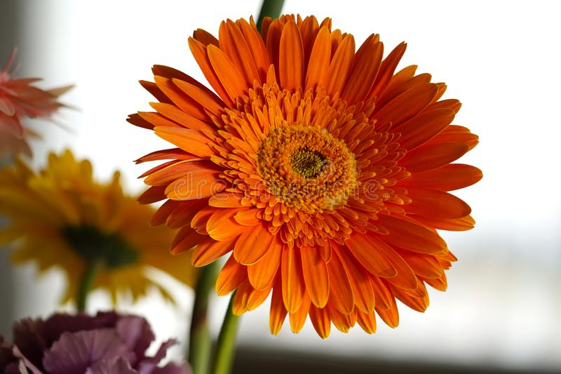 Fond de lumière de Daisy Flower Orange Gerbera On image stock
