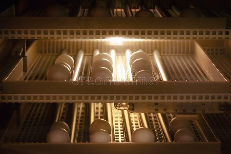 Fond de machine d'incubateur d'oeufs Oeuf d'oiseau avec la hachure dans la ferme photographie stock libre de droits