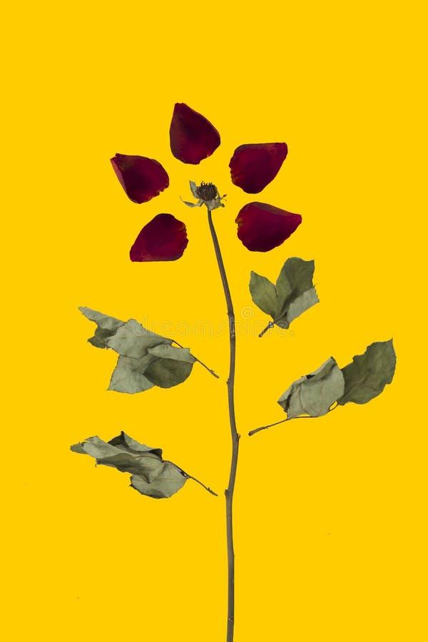 Fond de modèle de Rose Pétales sans couture d'image avec des fleurs image libre de droits