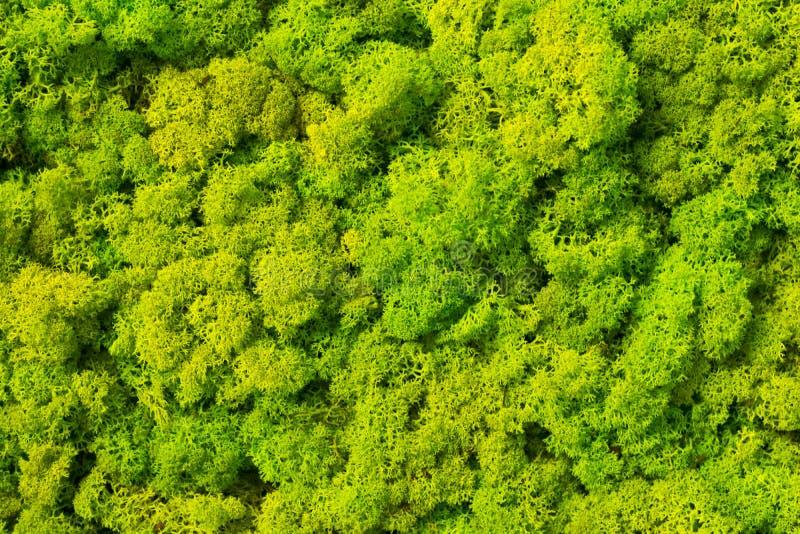 Fond de mousse fait en rangiferina de Cladonia de lichen de renne photographie stock