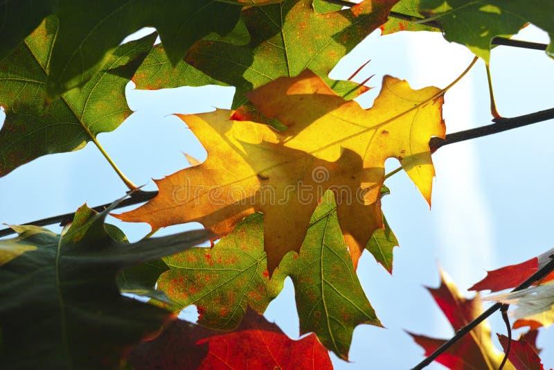 Fond de nature avec les feuilles américaines de chêne d'automne coloré photo libre de droits