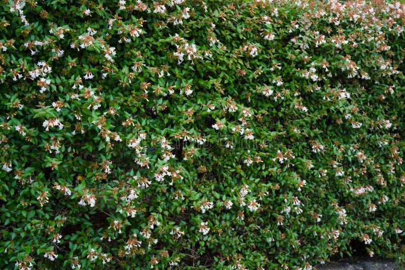 Fond de nature de mur de fleur de Bush photo stock