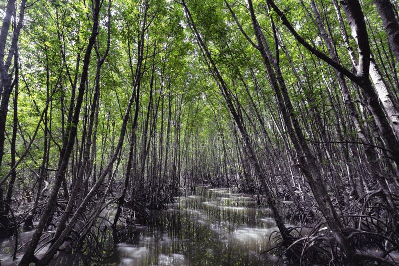 Fond de nature, photo de belle forêt de palétuvier à l'interdiction Ko Klang, province de Krabi, Thaïlande photographie stock libre de droits