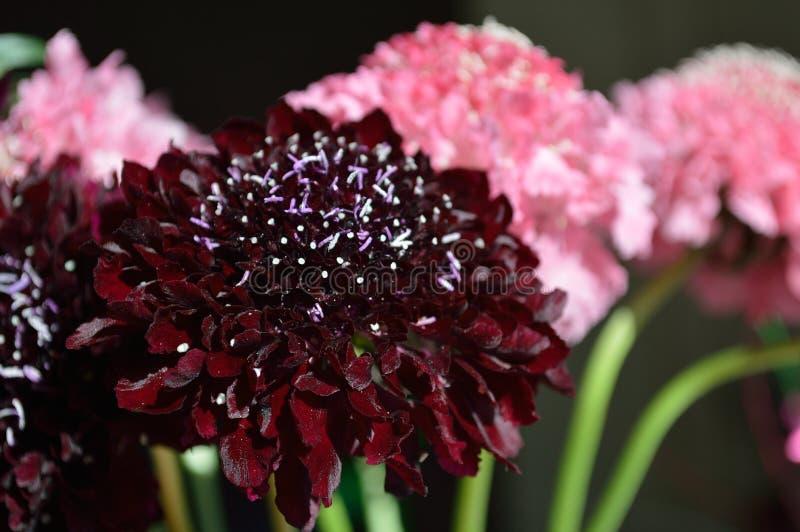 Fond de noir de bouquet de fleur de pelote à épingles de chevalier de Salmon Queen Black Pompom Black images libres de droits