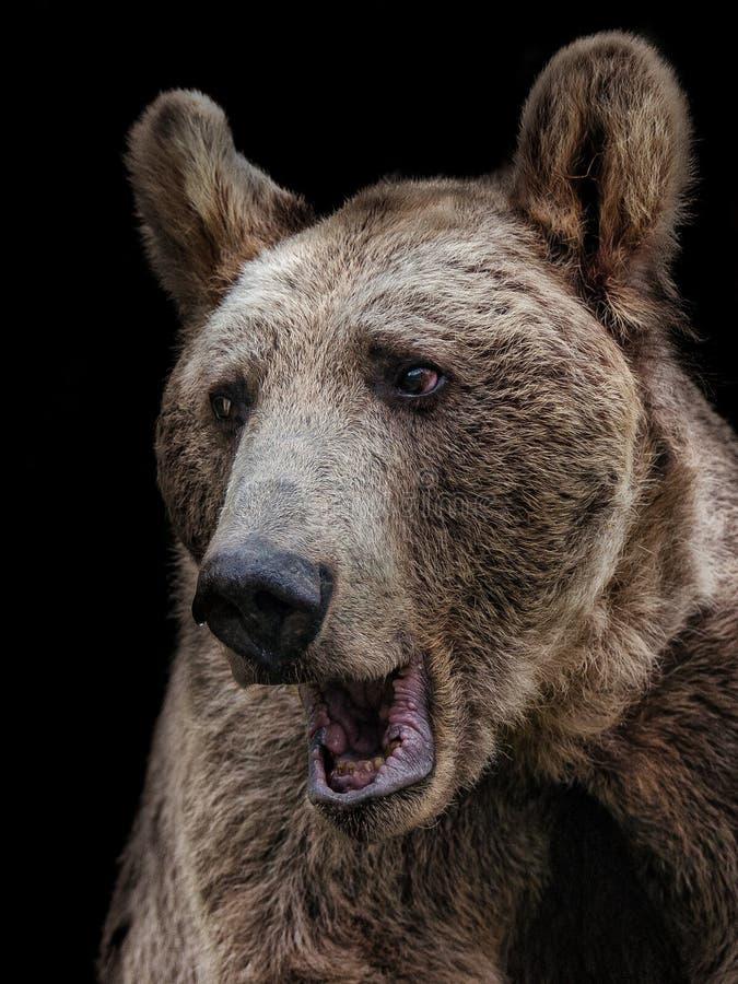 Fond de noir d'ours de Brown image libre de droits