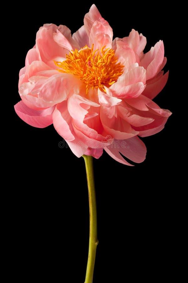 Fond de noir de fleur de pivoine photo libre de droits