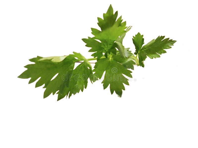 Fond de nourriture d'isolement par feuilles fraîches de céleri photo libre de droits